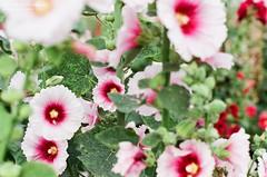 Alcea rosea ([M!chael]) Tags: olympus om2 zuiko autos 5014 fujifilm superia400 manual film taiwan changhua flower nature