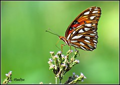 Gulf Fritillary Butterfly (Suzanham) Tags: gulffritillary nature wildlife bug wildflower fantasticnature thegallery wings