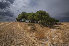 El Oasis (Anpegom fotografa) Tags: calor verano rastrojo esto dorado pino arbol villabaez valladolid castillaylen espaa spain anpegomfotografia