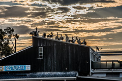 Pelicans perched on Fishermens Wharf (Merrillie) Tags: nikon nature australia birds d5500 nswcentralcoast newsouthwales clouds building nsw twilight sky wildlife centralcoastnsw fishermenswharfwoywoy fishermenswharf photography pelicans outdoors animals fauna centralcoast waterfront outdoor