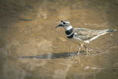 killdeer (The Gaggle Photography | Jessica Nelson) Tags: killdeer birds bird nature wildlife natureycrap jessicanelson gagglephotography maryland feathered water waterbirds
