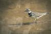 killdeer (The Gaggle Photography | Jessica Nelson) Tags: killdeer birds bird nature wildlife natureycrap jessicanelson gagglephotography maryland feathered water waterbirds