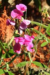 Everlasting Pea, Lathyrus latifolius, 1 (Herman Giethoorn) Tags: everlasting pea wildflower