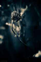 wilt (rich lewis) Tags: macrophotography macro flower nature wilt splittoning richlewis