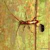 Cerambycidae (Ecuador Megadiverso) Tags: andreaskay beetle cerambycidae coleoptera ecuador longhornbeetle loscedros