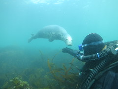 Underwater friends (roger_forster) Tags: halichoerusgrypus greyseal lundy bristol channel island underwater diving scuba sea rebreather diver kelp laminaria naturallight nationaltrust