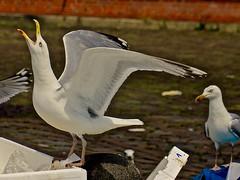 Seagull / Mwe (heiko.moser (+ 9.500.000 views )) Tags: gull mwe seagull bird vogel vgel tier tiere animal animale natur nature natura nahaufnahme closeup entdecken eyecatch discover deutschland hamburg fischmarkt color canon heikomoser