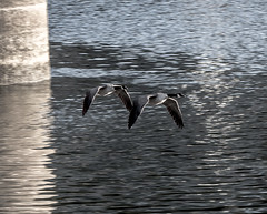 Paired up for Life. (Omygodtom) Tags: wild wildlife action bokeh bird geese river nikon nature reflection dof d7100 nikon70300mmvrlens abstract animalplanet existinglight