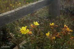 Coastal Wild Flowers (HFF) (buffdawgus) Tags: california canon50mmcompactmacro canon5dmarkiii lightroom5 pacificcoast pacificcoastfauna pigeonpoint sanmateocounty sanmateocountycoast topazsw westcoast sundrops eveningprimrose