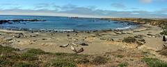 Elephant Seals and Sea Lions (Franklyn W) Tags: biketour bikecamping bikeride touring touringbike california pacificcoasthighway hwy1 cahwy1 bigsur kirkcreek sansimeon cambria cayucos morobay morobaystatepark pacificocean marinemammals sealions elephantseals twitter tumblr