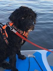 Gabby on paddleboard @ 10 weeks old (crisp4dogs) Tags: gabby pwd portuguesewaterdog crisp4dogs water swim