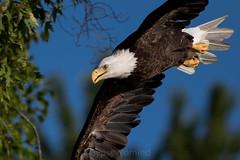 EagleFly 8_25 (gypsynomind) Tags: baldeagle americanbaldeagle america river connecticut raptor bird animal birdsofprey mature immature prey 500mm 500f4 is 7d mkii 7dmkii american