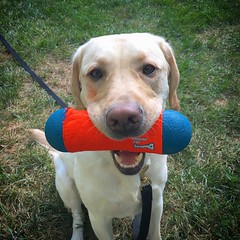 Calvin holds his Chuck-It toy during playtime (hero dogs) Tags: dog labrador cute therapydog servicedog