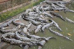 Krokodli farma (luciechlebikova) Tags: mekongdelta mekongriver vietnam asia crocodile crocodiles crocodilefarm