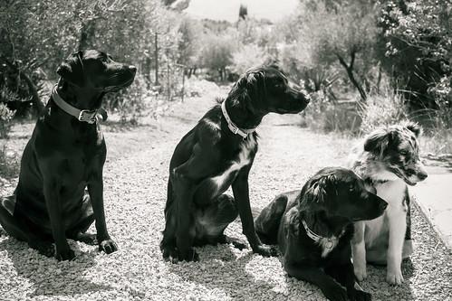 4 dogs B&W