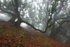(RicardoPestana2012) Tags: fog trees forest mist nature twisted lordoftherings fairytale madeira madeiraisland fanal