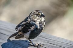 Wild Pigey II (misterperturbed) Tags: bird delaware bethanybeach atlanticocean