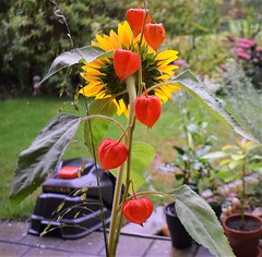 Bouqet Sunflower and Lampion 18.09 (3) (tabbynera) Tags: bouquet sunflower lampion