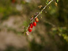 Gewhnlicher Bocksdorn (mohnblume2013) Tags: fokus macro 60ziger blume frucht bockdorn