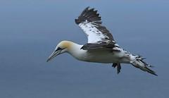 GETTING HIS STRIPES By Angela Wilson (angelawilson2222) Tags: seabird sea ocean gannet juvenile cliffs fly flying wings movement nature wildlife rspb north yorkshire coast coastal nikon angela wilson