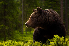 Forest Bear (Old-Man-George) Tags: animal borealwildifecentre europe finland georgewheelhouse landscape martinselkonen scandinavia scandinavian ursusarctos woods bear boreal brownbear forest marsh nature trees wildlife wwwgeorgewheelhousecom d881827