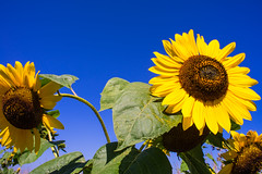 Sunflower (tcmappes) Tags: sunflower flowers nature niceshot