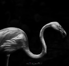 S (Ah Wei (Lung Wei)) Tags: phoenicopteridae greaterflamingo melaka malaysia afamosa animals portrait wildlife nature nikond7000 nikon 50mmf18 nikon50mmf18 ahweilungwei monochrome blackandwhite fineart