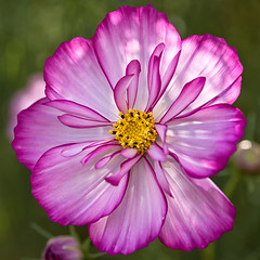 The Cosmos (LoomahPix) Tags: blossom color colour cosmos nature outdoors outside rhs wisley beautiful beauty blossoms flora flower garden natural outdoorphotography petals square summer flowerphotography purple yellow white botany