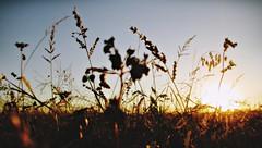 Remnants of Summer (Pt. IV) (Sea of Silence) Tags: flora plants sun sunset nature outdoors sunlight sunshine evening canon