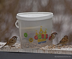 Godis (Leifskandsen) Tags: camera winter cold bird nature norway canon living seed feeder plastic sparrow scandinavia godis brum bekkestua leifskandsen skandsenimages