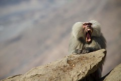 Monkey Don't Play (Universal Stopping Point) Tags: mountains rock monkey teeth yawn angry baboon saudiarabia ferocious taif