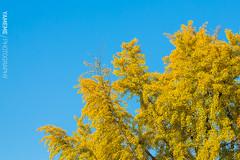 祈晴照 Good weather continues / Kyoto, Japan (yameme) Tags: travel japan canon eos ginkgo kyoto 京都 日本 銀杏 kansai 旅行 關西 東本願寺 higashihonganjitemple 24105mmlis 5d3 5dmarkiii
