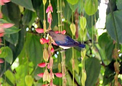 purple sunbird(Cinnyris asiaticus) (nbu2012) Tags: india west bird campus nikon university purple north bengal durga sunbird siliguri asiaticus cinnyris nbu moutushi tuntuni nbu2012