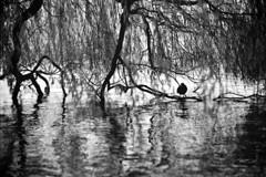 safe haven (chipsmitmayo) Tags: trees blackandwhite film water analog 1 nikon kodak f14 hamburg 85mm f100 pushed nikkor schwarzweiss alster vogel atra salix ralle bw400cn fulica blässhuhn sicherheit babylonica trauerweide