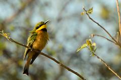 "Little Bee-eater in Okavango Delta, Botswana • <a style=""font-size:0.8em;"" href=""https://www.flickr.com/photos/21540187@N07/8293297207/"" target=""_blank"">View on Flickr</a>"