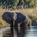 "Elephant  in Okavango Delta, Botswana • <a style=""font-size:0.8em;"" href=""https://www.flickr.com/photos/21540187@N07/8294342170/"" target=""_blank"">View on Flickr</a>"