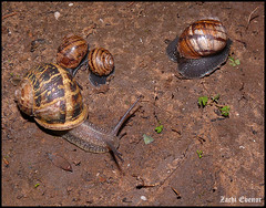 Family of Snails (Zachi Evenor) Tags: winter macro animal animals israel snail helix snails   mollusca gastropoda cornu molluscs   helixaspersa       aspersa   cornuaspersum cantareusaspersus cantareus  aspersus zachievenor asepersum