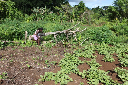 Removing overgrown weeds is a time consuming process for rural village farmers.  Western Province, Solomon Islands. Photo by Wade Fairley, 2012.