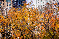 Central Park In Fall (Mabry Campbell) Tags: nyc newyorkcity november trees usa ny newyork nature colors leaves yellow landscape photography us photo unitedstates centralpark manhattan fallcolors unitedstatesofamerica autumncolors photograph f28 2012 160 200mm colorfulautumn newyorkcounty ef200mmf28liiusm nycphotowalk nycworkshop sec mabrycampbell november132012 201211139034
