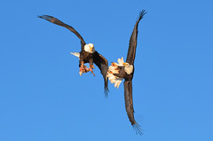 """Dueling Eagles"" (PeterBrannon) Tags: flight baldeagle battle aerial birdwatcher grandpr birdperfect allofnatureswildlifelevel1 allofnatureswildlifelevel2 novascotiabirds"