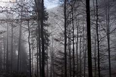 Feldberg_0018 (Torsten Klein) Tags: trees tree fog germany nebel bume schwarzwald blackforest baum feldberg