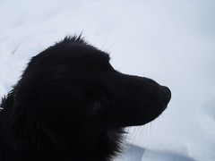 The black spot (Ramona R***) Tags: schnee dog chien pet white snow black blanco co cane branco fur noir nieve negro bigotes preto whiskers perro hund neve moustaches neige kutya 1001nights  bianco blanc  nero fell schwarz barba hundur muzzle pes madra putih fourrure  salju muso snjr hitam anjing svart caine focinho pelliccia  hvtur  bozal museau weis schnurrhaare bn bigodes zapada dubh  snh maulkorb  ern  sneachta bl       1001nightsmagiccity