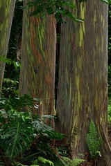 Rainbow Eucalyptus (knightime creations by bess) Tags: trees green hawaii rainforest maui hana tropical rainboweucalyptus bessknight knightimecreationsbybess
