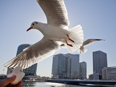 Seagulls close to me (DigiPub) Tags: seagull explore カモメ 鴎