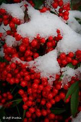 Snow and Berries (aceoutwide120) Tags: snow berries 2012 louisvillekentucky nandinadomestica heavenlybamboo d80