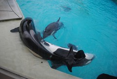 Shouka, Nakai, and Ikaika (EchoBeluga) Tags: san stadium diego killer whale orca seaworld shamu
