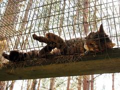 Scottish wildcat (M5261440) (Mel Stephens) Tags: visions 2012 20120526 scotland uk highland wildlife park olympus omd em5 panasonic lumix 20mm microfourthirds mirrorless micro43 201205 may spring m43 f17 pancake q2 animals animal mft