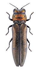 Endelus collaris (Kohichiroh) Tags: japan insect stack specimen coleoptera buprestidae jewelbeetle woodboringbeetle