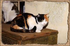 Turkish cat... (Alessandro Zaccari) Tags: pet animal cat canon turkey trkiye gatto turchia ef24105 eos5dmarkii