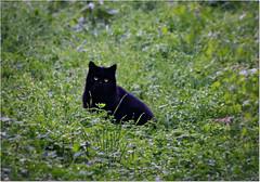 Volevo gatto nero nero nero .... ( Voice of my soul ) Tags: cats animals blackcat felini felines gatti animali garronero mygearandme mygearandmepremium mygearandmebronze mygearandmesilver rememberthatmomentlevel4 rememberthatmomentlevel1 rememberthatmomentlevel2 rememberthatmomentlev